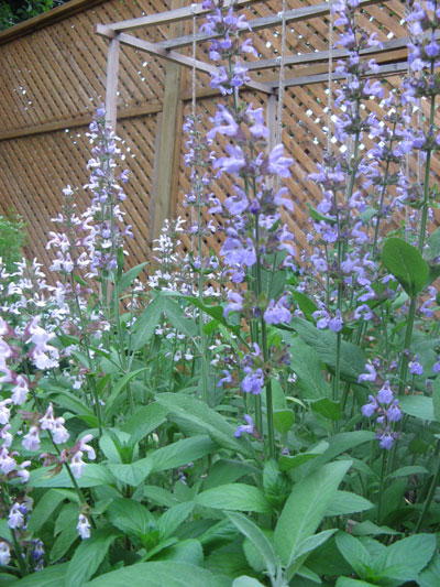 blossoming herbs in square foot garden